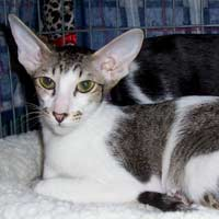 Brown Spotted Tabby and White Oriental Short Hair queen
