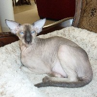 Seal Point Peterbald